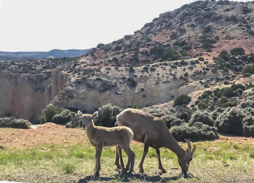 In primo piano due capre del Bighorn Canyon tra Wyoming e Montana. Una con le corna grandi che bruca l'erba, l'altro un cucciolo. Sullo sfondo una montagna di rocce bianche, beige e rosa puntellate di cespugli verdi. Il cielo è color latte.