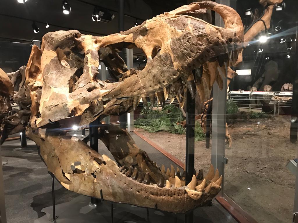cranio dinosauro bozeman montana museum of the rockies